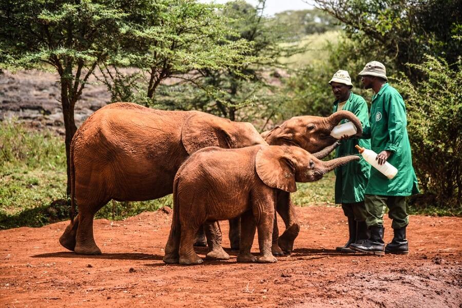 Feeding elephants at David Sheldrick-travel destinations in Kenya