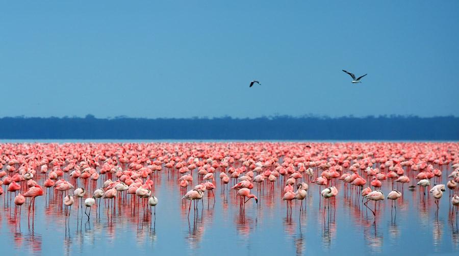 Flamingos in Lake Nakuru -travel destinations in Kenya